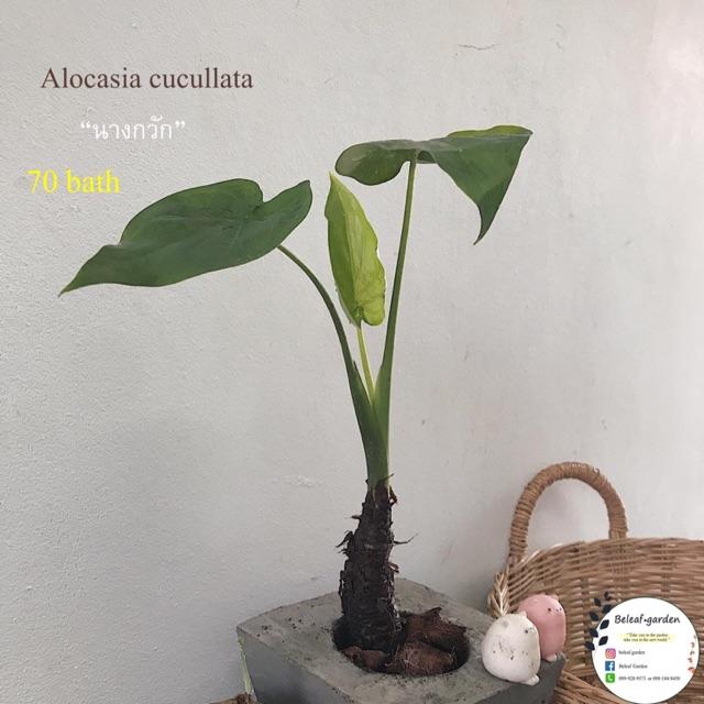 นางกวัก Alocasia cullata