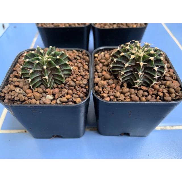 ยิมโน LB hybrid จัดเซตcactus 🌵พร้อมส่ง🌵