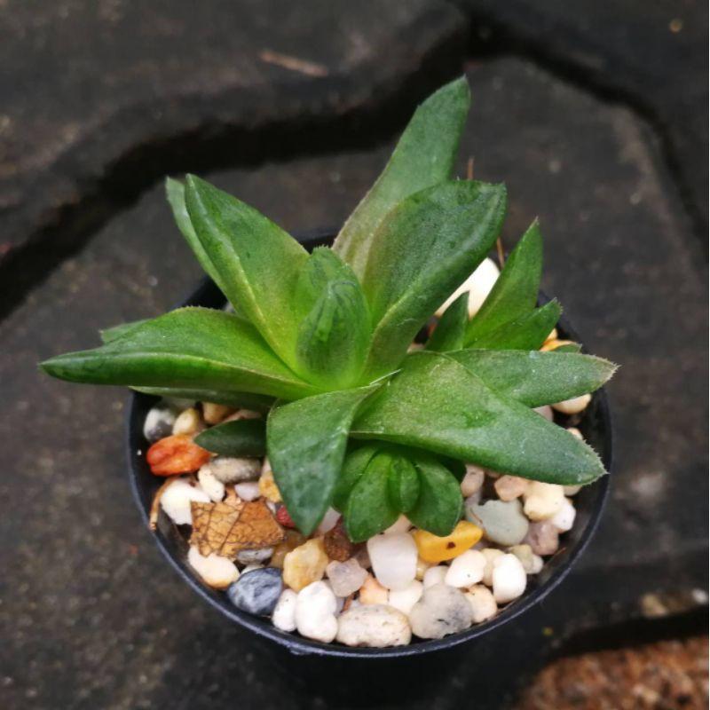 ไม้อวบน้ำ บัวแก้ว Haworthia