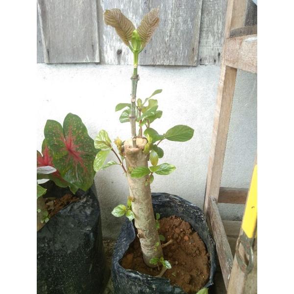 #ต้นกระท่อมเสียบยอด#ก้านแดง#หางกั้ง#ต้นกระทุ่มเสียบยอดกระท่อมภาคใต้