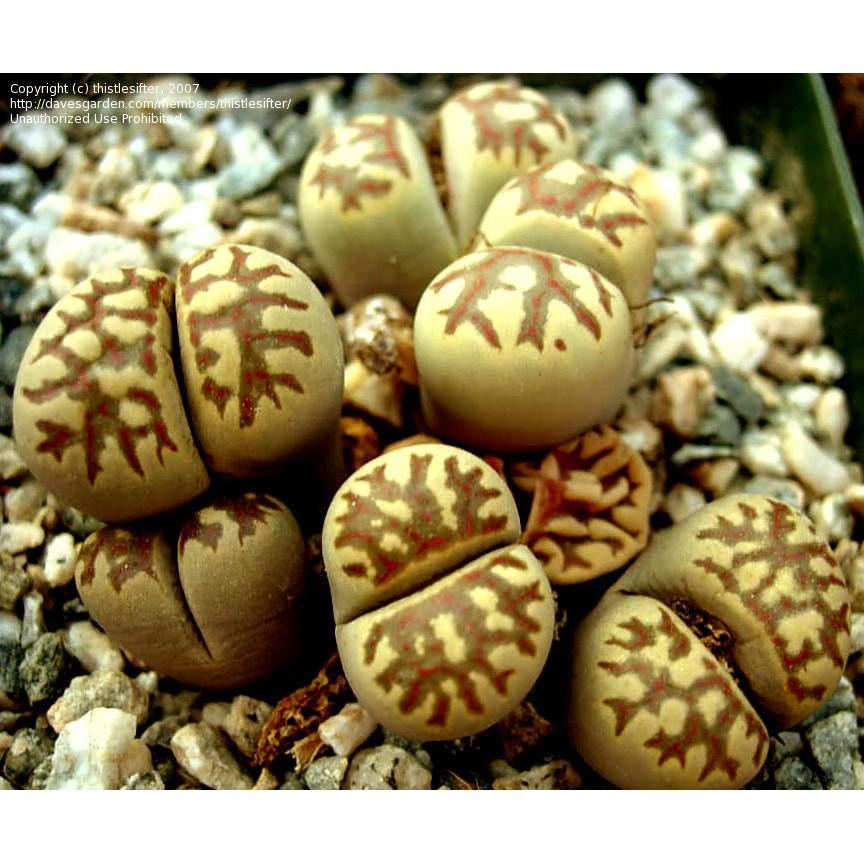 กระบองเพชร ไม้อวบน้ำ แคคตัส cactus succulent seeds เมล็ดพันธุ์ Lithop dorotheae (20 seeds)