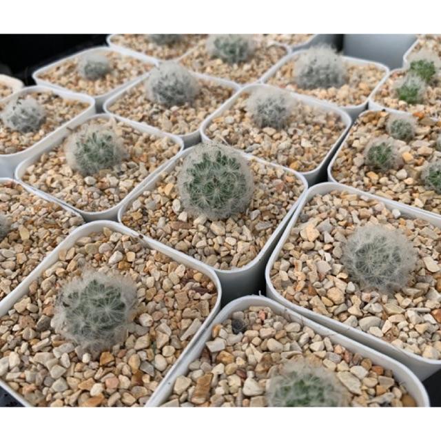 แคคตัส แมมขนนก ดอกสีเหลือง ขนาด 2-3 ซม. Cactus Mammillaria plumosa