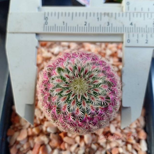 เรนโบว์ แคคตัส #Rainbow_Cactus ไม้เมล็ด ขนาด 3-4 Cm. ราคาถูกกกก‼️