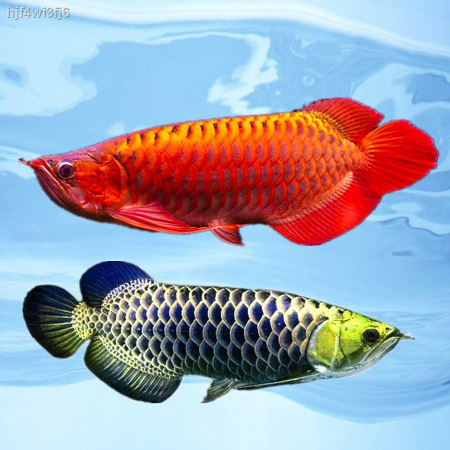 Red Dragon Live fish อินโดนีเซีย ซุปเปอร์เลือด มังกรแดง พริกไทย อโรวาน่าแดง ปลามังกรทอง ฮวงจุ้ย ปลาทอด ประดับ