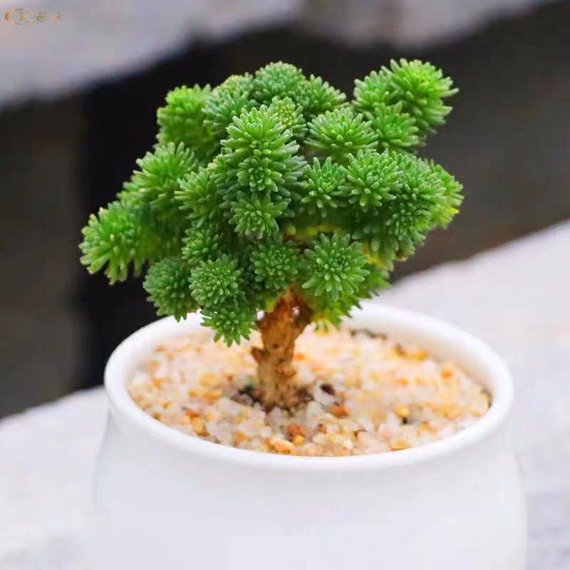 ราคาพิเศษ❂⊕ไม้อวบน้ำ ไม้สน ไม้อวบน้ำ กระถาง บาน แก่ กอง สามเณร ดี ไม้อวบน้ำ ในร่ม สร้างสรรค์ ดอกไม้ กระถาง ต้นไม้สีเขียว