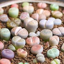 เมล็ดพันธุ์ เมล็ด ไม้อวบน้ำ แคคตัส LITHOPS - mix (20 seeds)