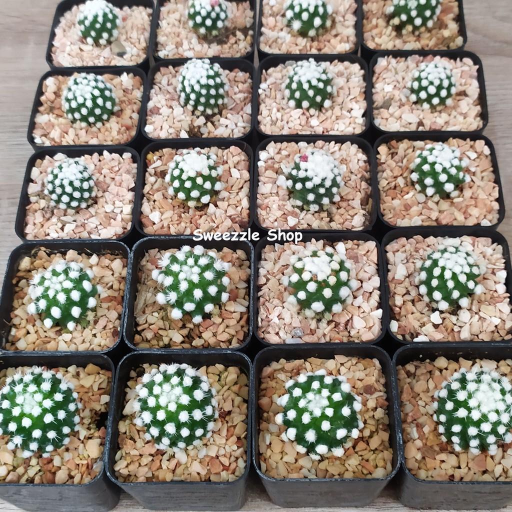 กระบองเพชร แคคตัส (Cactus) แมมโอรุกะ (Mammillaria Gracilis Oruga) ลุ้นสีดอก  จัดส่งทั้งกระถาง