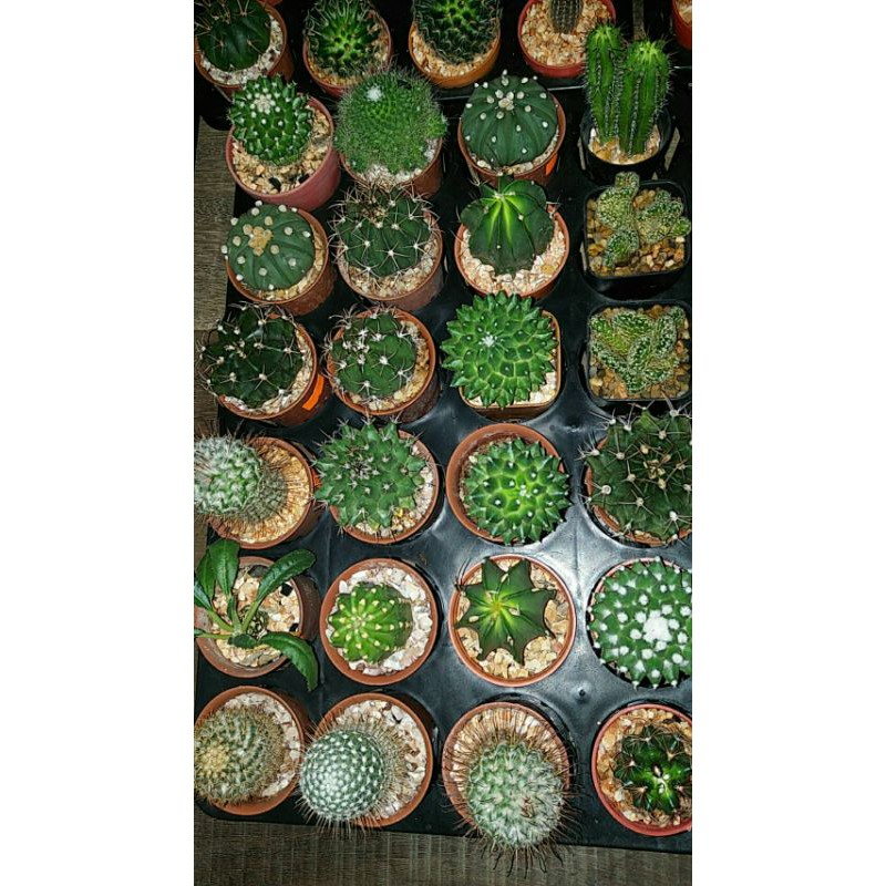 cactus สวยๆ ปลูกเองนะค่าาา ส่งได้จ้า