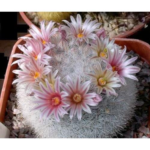 """กระบองเพชร ไม้อวบน้ำ แคคตัส cactus succulent seeds เมล็ดพันธุ์ Mammillaria Candida """"Snow Ball"""""""