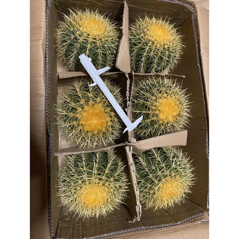กระบองเพชร ถังทอง ต้นใหญ่ cactus