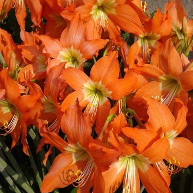 ว่านสี่ทิศ พันธุ์พื้นเมือง ว่านมงคล ดอกสีส้ม ขายเป็นชุด.(ชุดล่ะ3หัวคละไซร์กันไป)