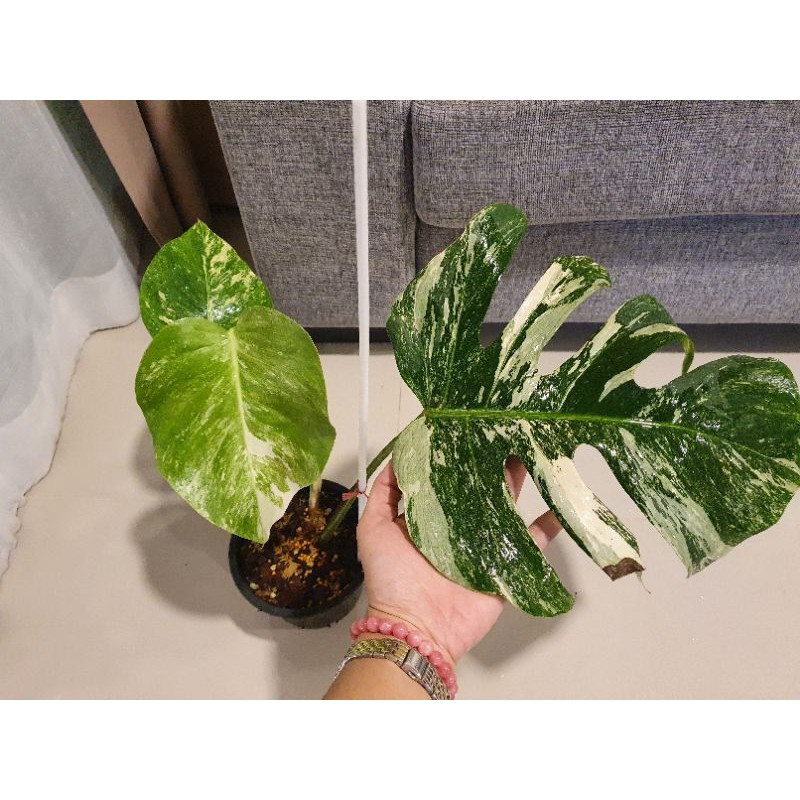 Monstera borsigiana albo variegated (holland) 🤍3ใบ1หลอด💚