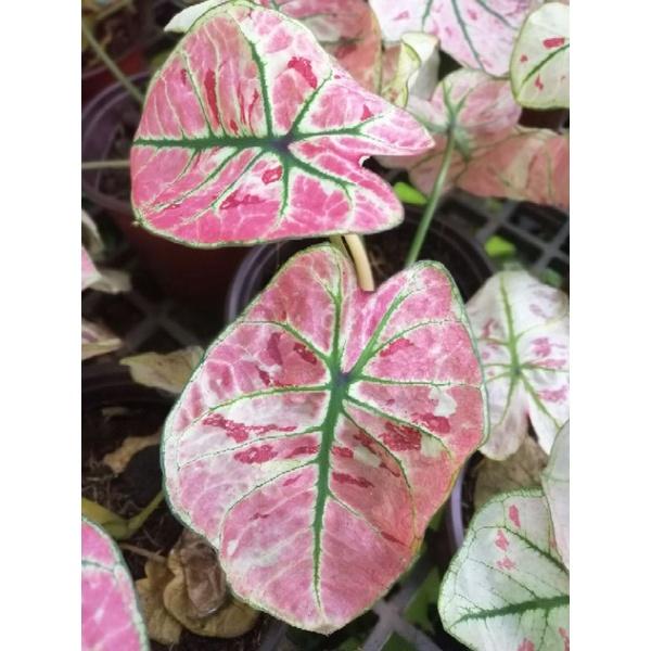 ต้นบอนสตรอเบอรี่สตาร์ Caladium Strawberry Star