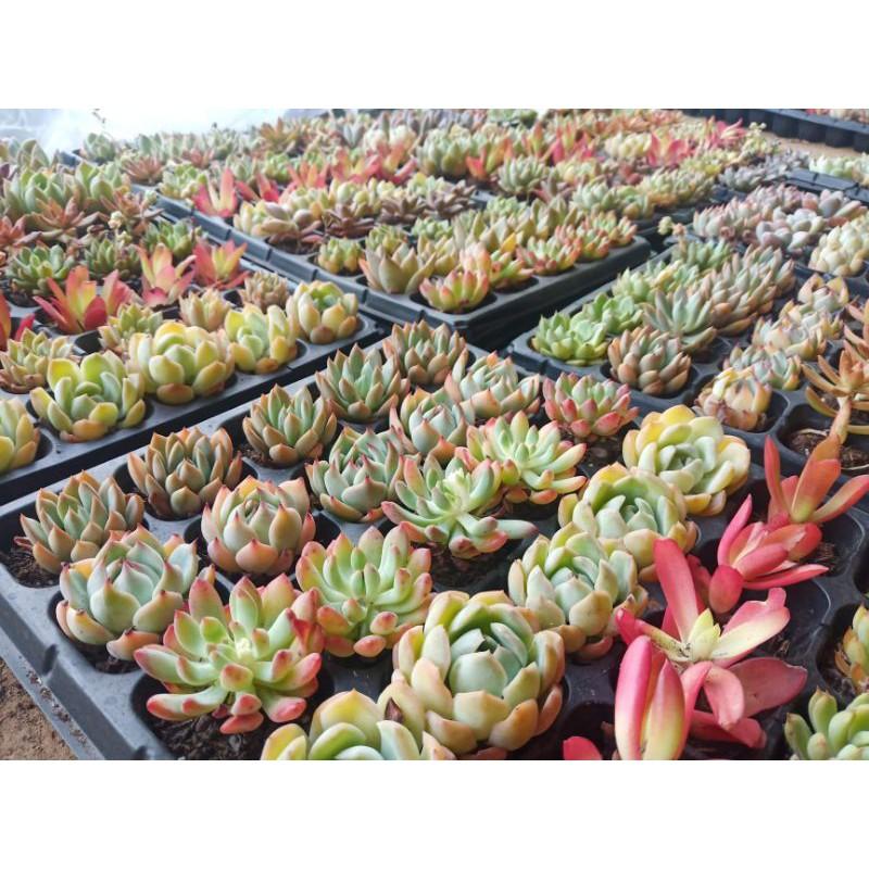 Succulent& Cactus ไม้อวบ กุหลาบหิน ไม้อวบน้ำ ซื้อครบ10แถม1