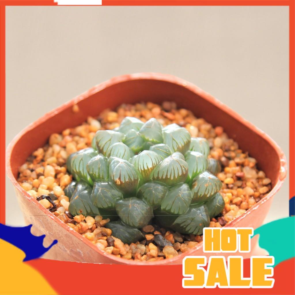 แคคตัส ยิมโนด่าง กระบองเพชร Haworthia Cooperi Var. Truncata 3 Inch G Succulents กุหลาบหินนำเข้า ไม้อวบน้ำ