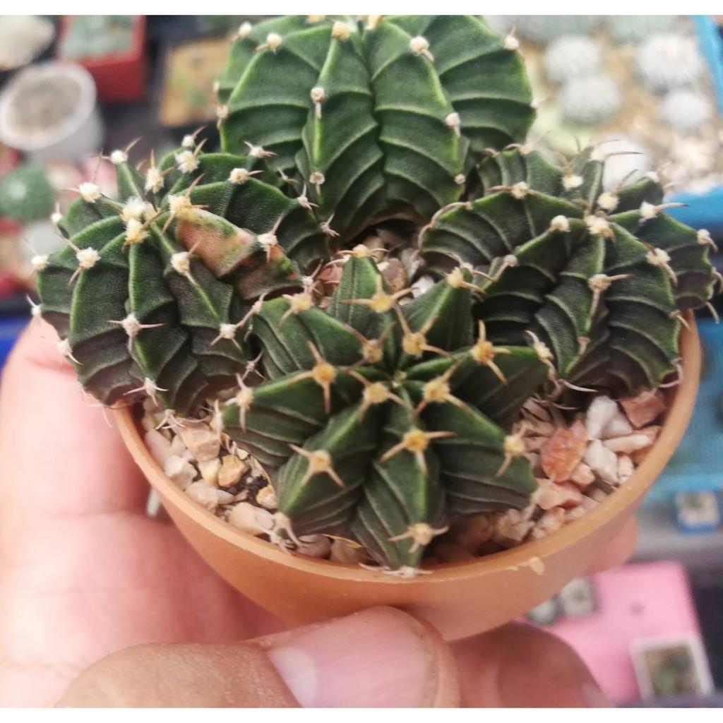 Cactus Gymnocalycium LB Hybrid แคคตัส ยิมโนฯแอลบีไฮบริด