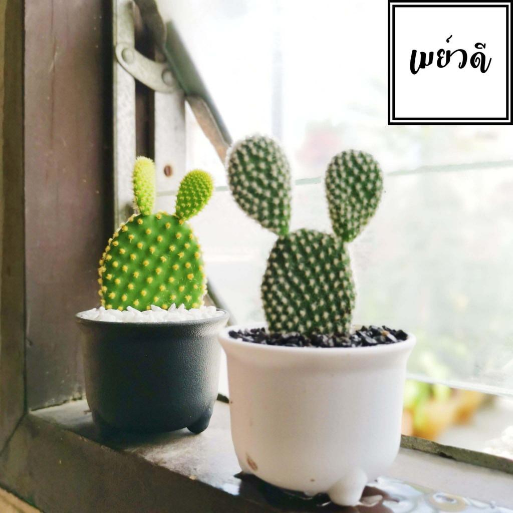 Opuntia cactus กระบองเพชรคัดต้น แคคตัส3สี เสมาเงิน เสมาทอง เสมานาค แคคตัสกระต่าย/หูมิกกี้เม้าส์- Opuntia Microdasys