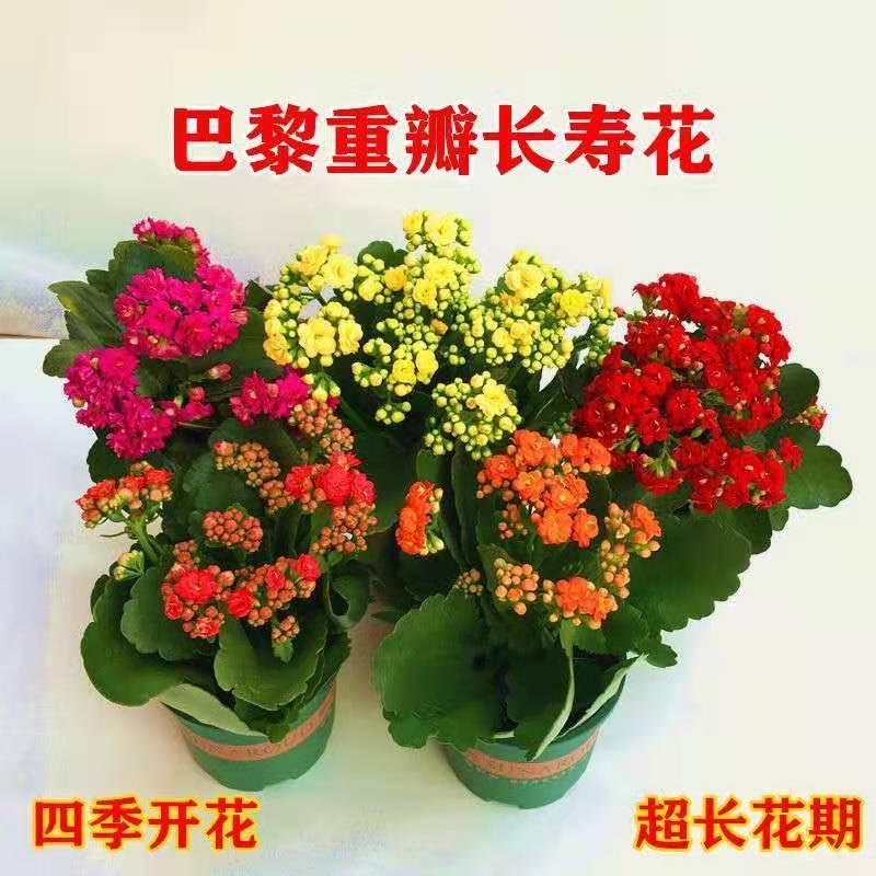 ไม้กระถาง﹊◄ดอกไม้อายุยืนสองกลีบมีดอกตูมต้นกล้าขนาดใหญ่พืชสีเขียว อวบน้ำออกดอกสี่ฤดูต้นกล้าใหญ่ Flower Indoor Good Plan
