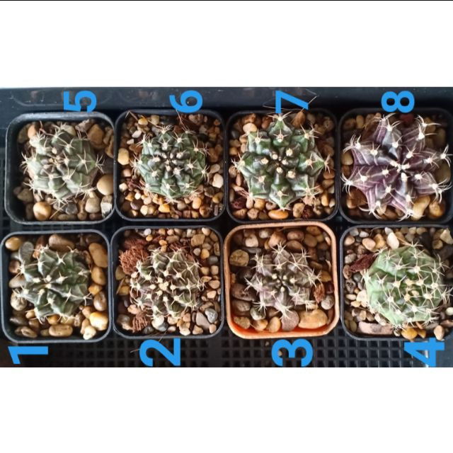กระบองเพชร แคคตัส cactus ไม้อวบน้ำ กุหลาบหิน