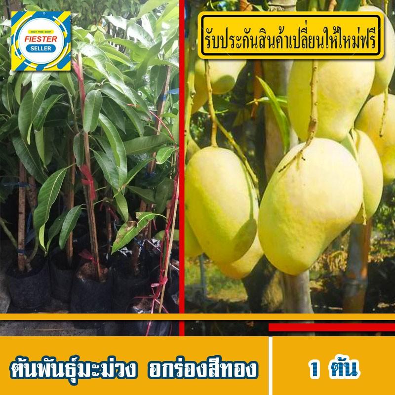 ต้นมะม่วง อกร่องสีทอง (มีรับประกันเปลี่ยนต้นใหม่ฟรี) กิ่งพันธุ์มะม่วง ลูกราคาดี ดก หวานหอม 1 ต้น
