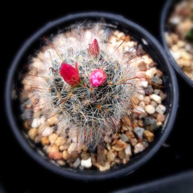 แมมขนแมว ดอกชมพู (Mammillaria plumosa) cactus แคตตัส กระบองเพชร