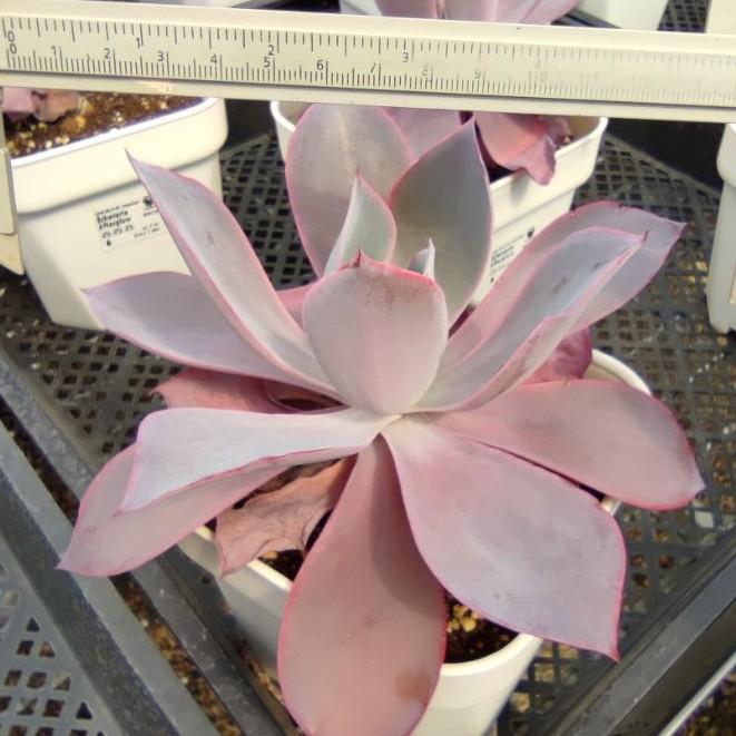 【COD】w♂﹊Echeveria Afterglow กุหลาบหินนำเข้า ไม้อวบน้ำ Imported Live Succulents plant