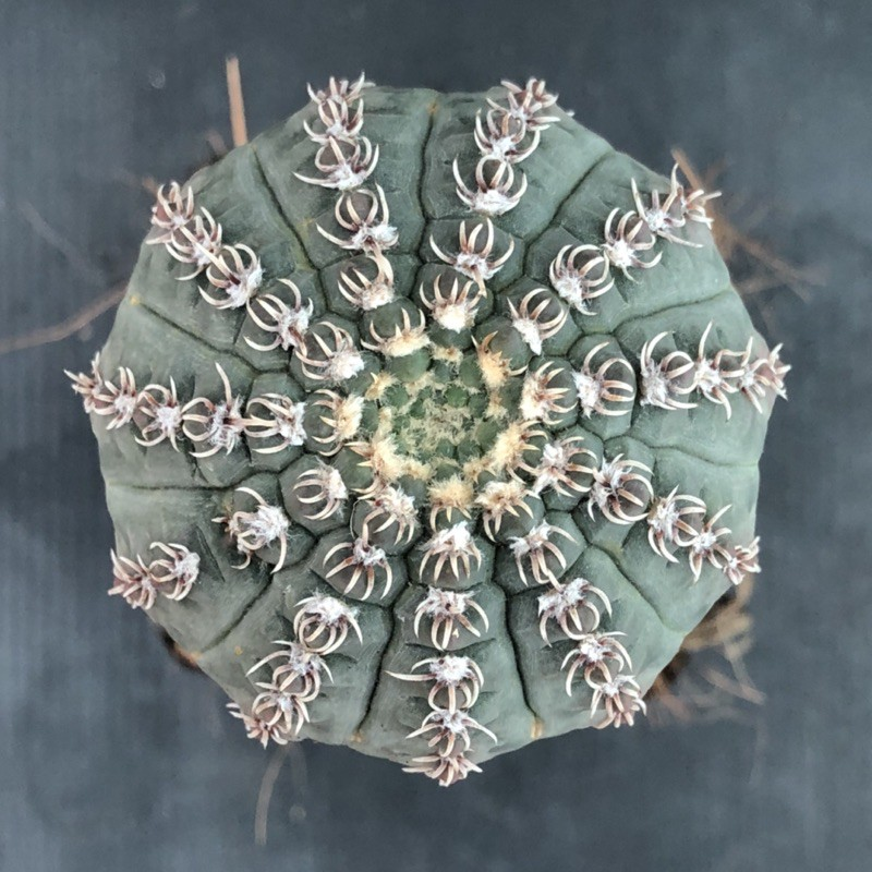 แคคตัส ยิมโน.หนามแมงมุม gymnocalycium quehlianum cactus ไม้กราฟ จำนวน 1 ต้น