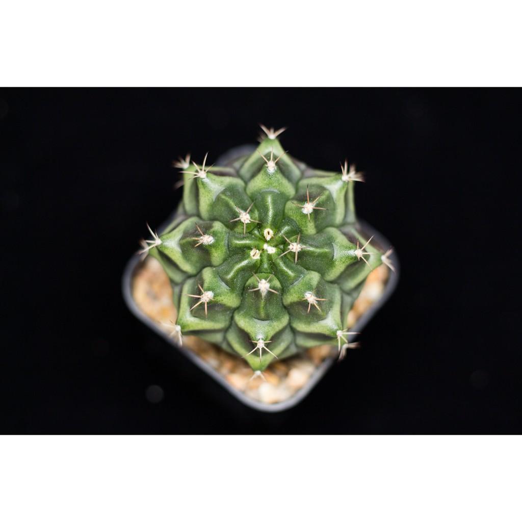 ยิมโน Gymnocalycium กระบองเพชร ไม้อวบน้ำ cactus