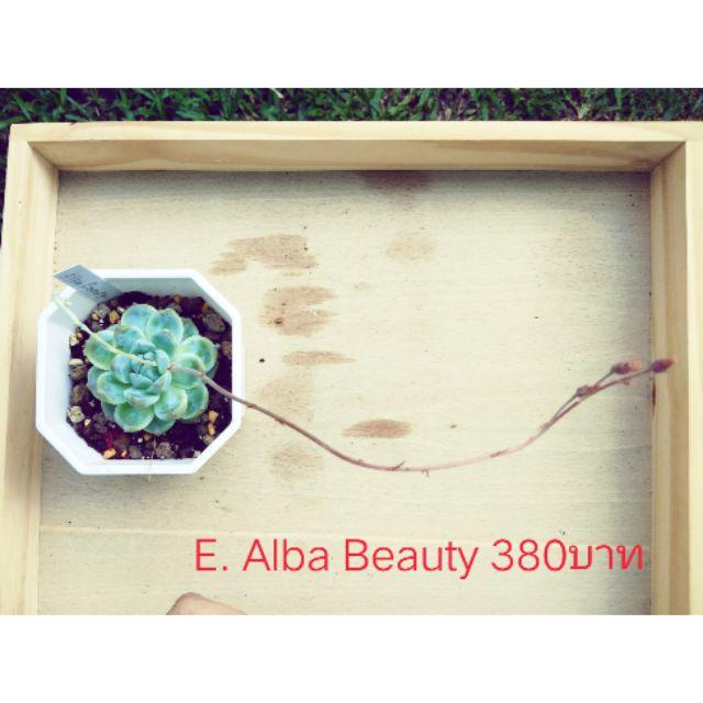 ไม้อวบน้ำ E. Alba beauty