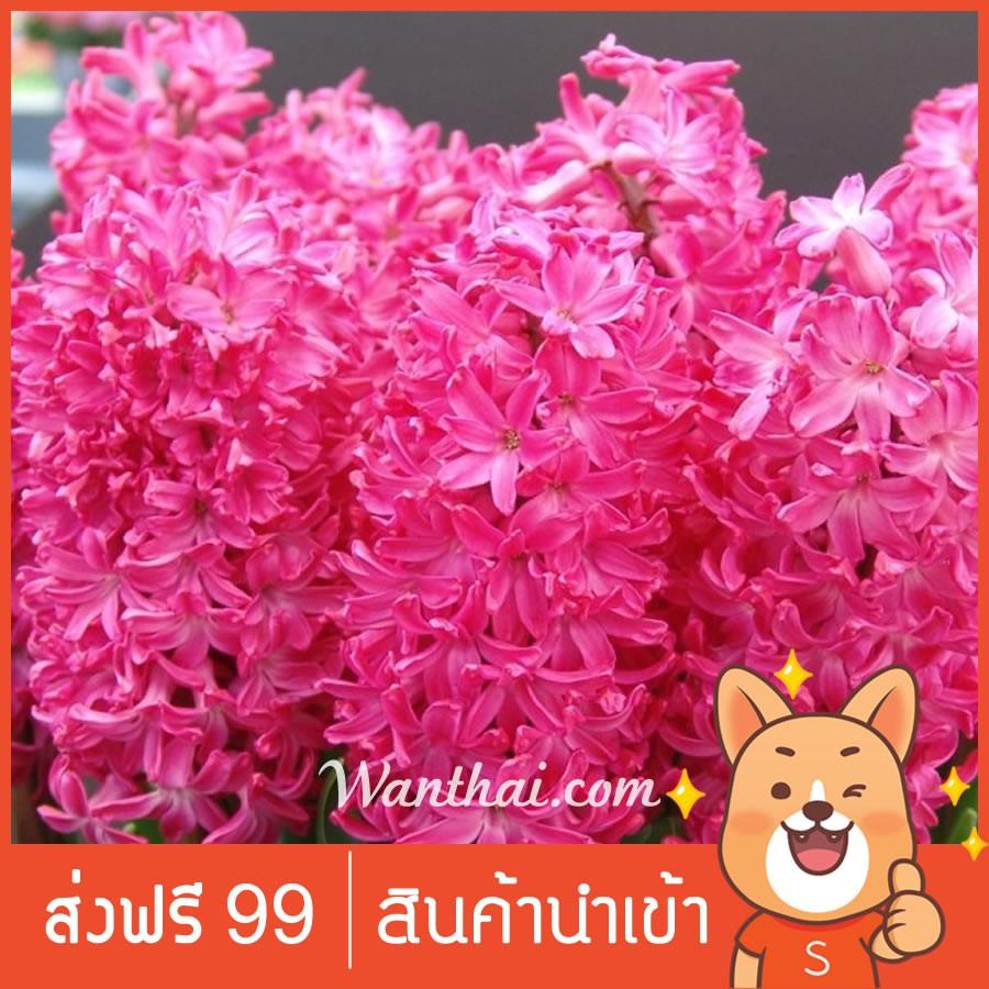 หัวไฮยาซิน ดอกสีแดง Jan Bos ดอกไฮยาซินธ์ มีกลิ่นหอม Wanthai ขายหัวลิลลี่ ว่านสี่ทิศ ทิวลิป ต้นไม้ฟอกอากาศ เมล็ดดอกไม้