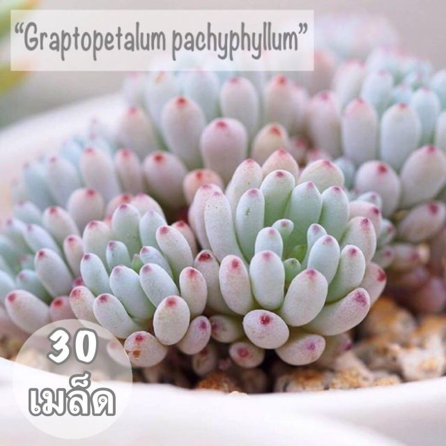 """เมล็ดพันธุ์ ไม้อวบน้ำ """"Graptopetalum"""" 30 เมล็ด"""