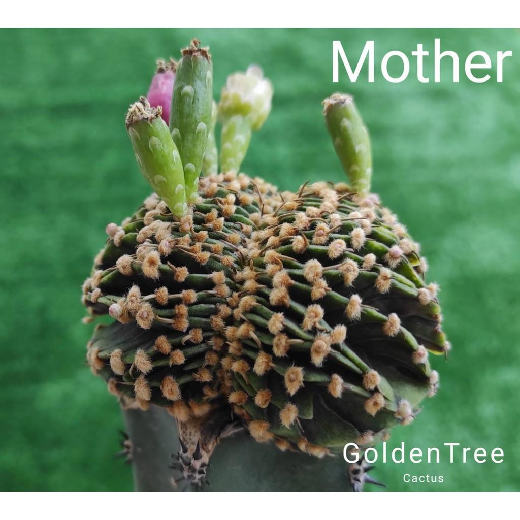เมล็ดแคคตัส แม่พันธุ์ LB2178 คริสตาต้า, LB2178 แฝด, T-Rex, YTG, PDM, ยิมโนด่าง, Cactus อื่นๆ