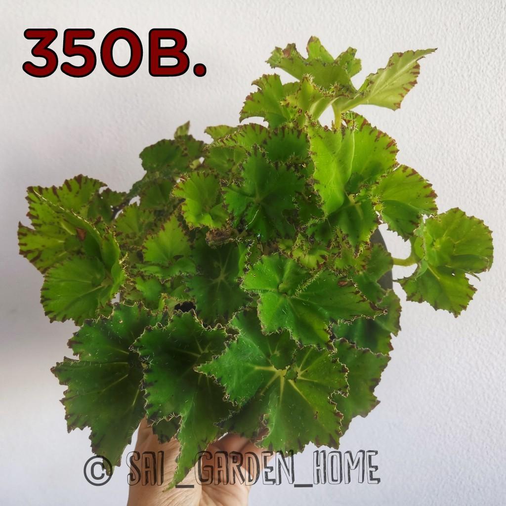 บิโกเนีย Begonia ไม้อวบน้ำตระกูลไม้ใบ