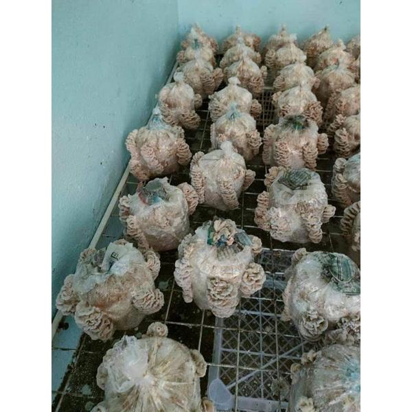 ก้อนเชื้อเห็ดแครง 50ก้อน950บาทพร้อมออกดอกให้ได้กิน