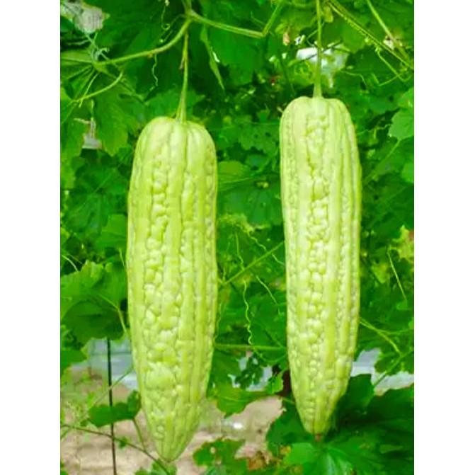 Bitter Melon Seeds  มะระจิน 6seeds