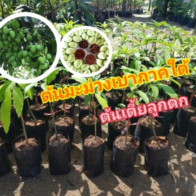ต้นมะม่วงเบาภาคใต้ ต้นเตี้ยลูกดก กินได้ทั้งสดและดอง กรอบ เนื้อแน่น ขนาดลำต้นสูง40-60ซม.(1ต้น/แพค)