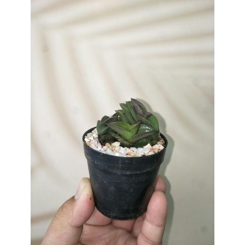 ไม้อวบน้ำ Commelinaceae navicularis