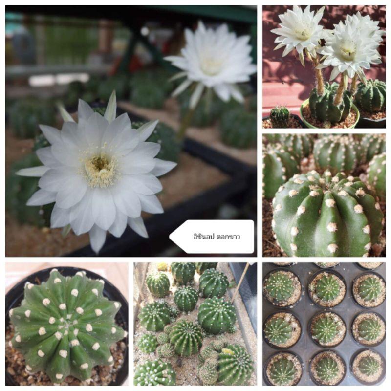 อิชินอป โดมิโน่แคคตัส ดอกสีขาว ไม้อวบน้ำ กระบองเพชร ราคาถูก เลี้ยงง่าย ทนแดด ทนฝน ขนาด 6-7 cm ต้นใหญ่ Echinopsis Cactus