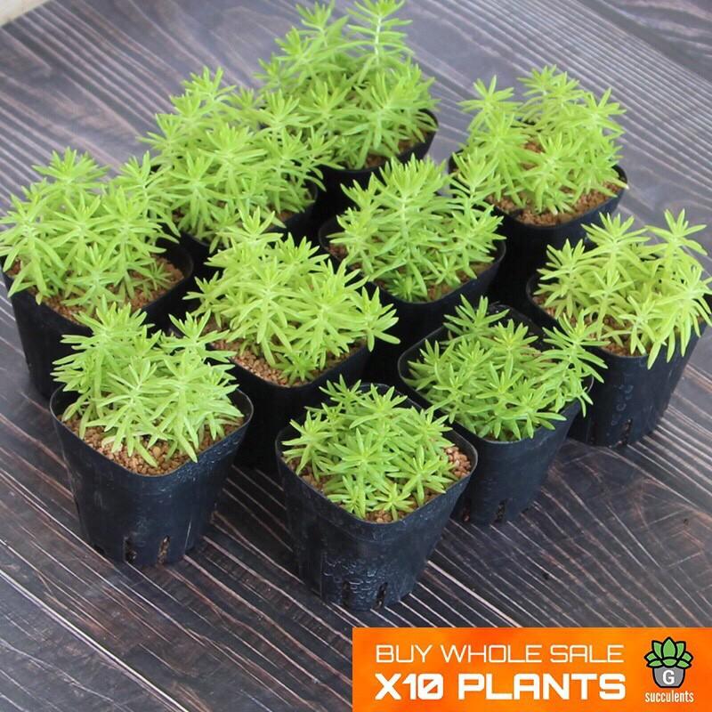 ราคาส่ง Sedum Angelina กุหลาบหินนำเข้า ไม้อวบน้ำ live Succulents plant