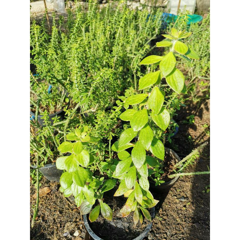 ตอเปอเรสเกีย พันธุ์ใบใหญ่ 10-12นิ้ว 1ตอ เปเรสเกีย เปอร์เรสเกีย pereskiopsis Cactus แคคตัส กระบองเพชร ไม้อวบน้ำ ไม้กราฟ