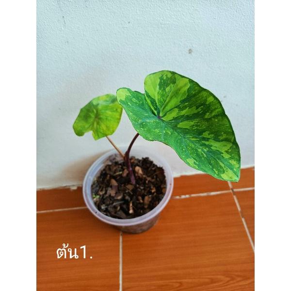 บอนเลม่อนไลม์ Colocasia lemon lime geckoโคโลคาเซียเลมอนไลม์ บอนเลม่อน