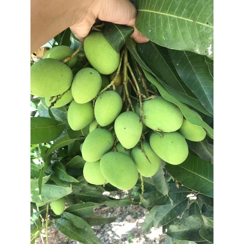 มะม่วงเบาใต้แท้ 1 กิโลกรัม 20 บาทเด็ดสดจากต้น