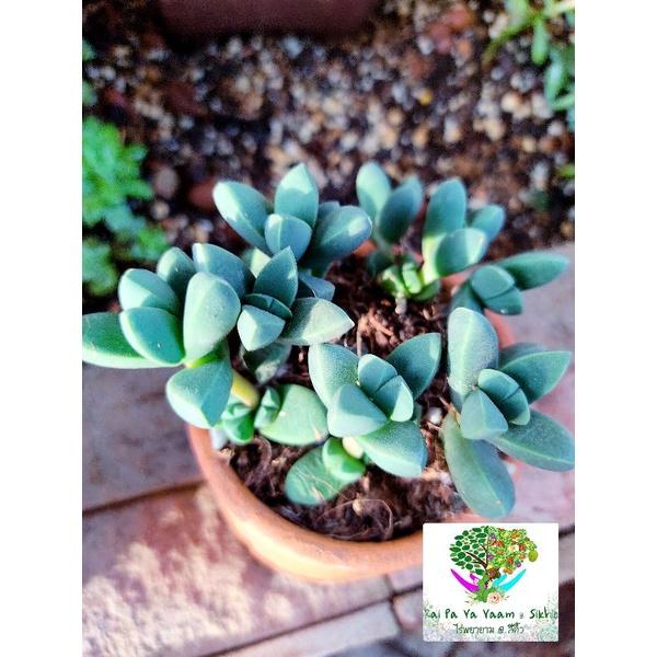 ไม้อวบน้ำ Gibbaeum petrense (เขากระทิง) 🦌