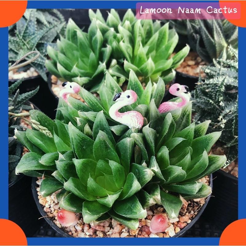 "🌸Succulents ไม้อวบน้ำฟอร์มกอ  สายพันธุ์ Aloe ""อโลแคระ"" , Haworthia ""ฮาร์โวร์เทีย"" ✨"