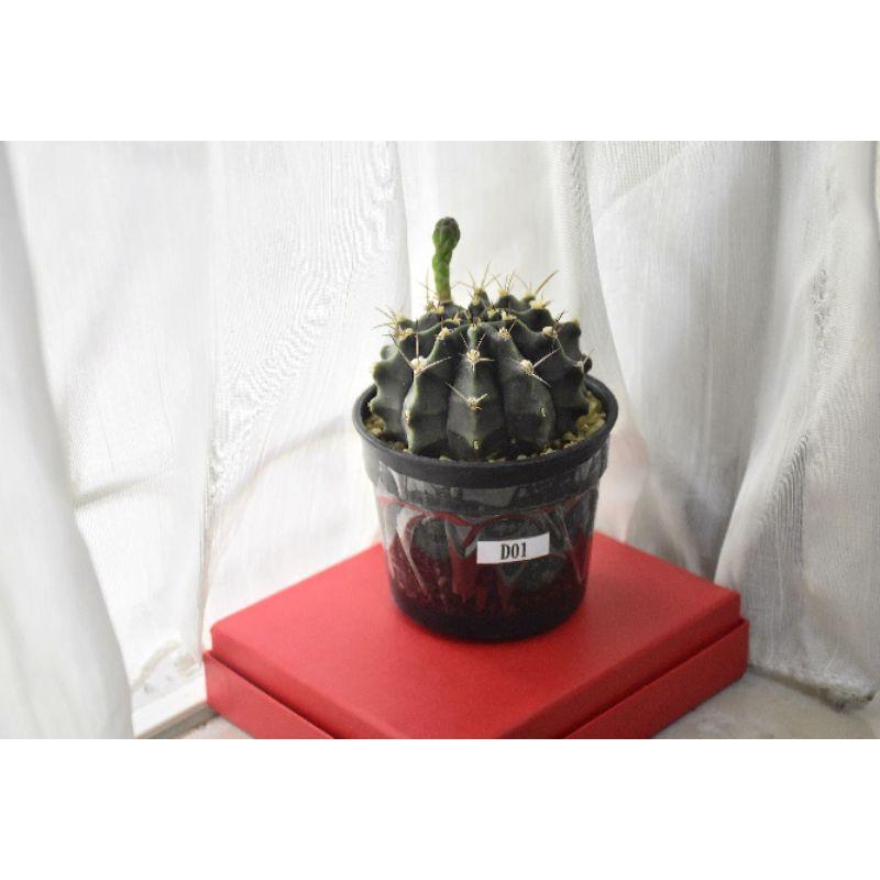 กระบองเพชรยิมโนคาไลเซียม / Cactus Gymnocalycium D01 / แคคตัสยิมโนคาไลเซียม 🌵🌵