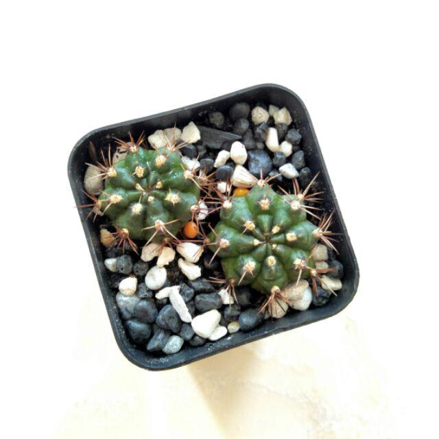 🌵 ยิมโน หนามแดง กระบองเพชร แคคตัส Gymno Cactus 🌵