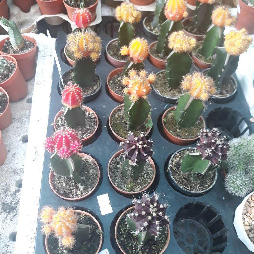Takwa Cactus กระบองเพชร ยิมโนหัวสี