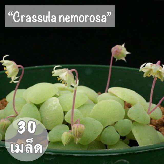 """เมล็ดพันธุ์ ไม้อวบน้ำ""""Crassula nemorosa""""💕30 เมล็ด"""