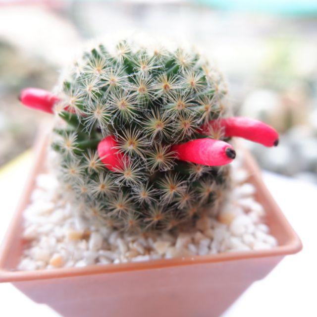 เมล็ดกระบองเพชร แคคตัส cactus
