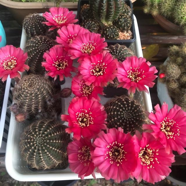 เมล็ดโลบิเวีย Lobivia cactus